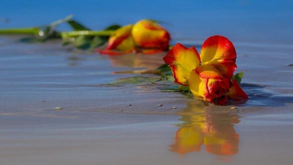 rose-2335203_640