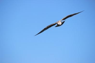 seagull-994483_640
